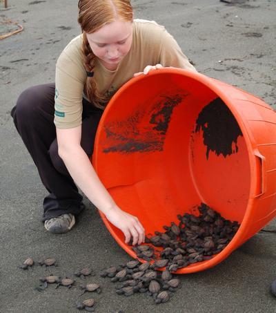 En frivillig slipper nyfødte skilpadder ut i havet