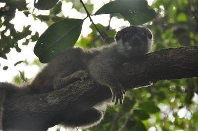 Frivillige observerer en lemur i regnskogen på Madagaskar