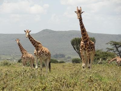 Frivillige observerer sjiraffer på den afrikanske savannen i Kenya