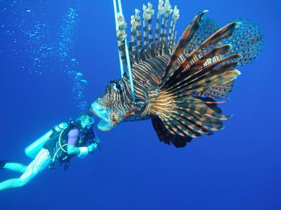 En frivillig dykker sammen med en drakefisk i Belize