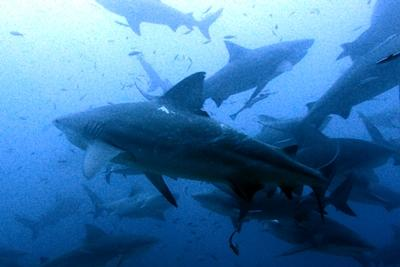 Hai i havet observert av frivillige på natur- og miljøprosjektet på Fiji