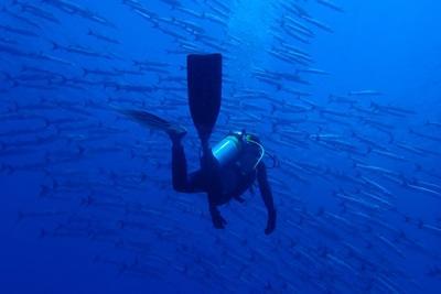 En frivillig teller barracuda på et forskningsdykk på Fiji