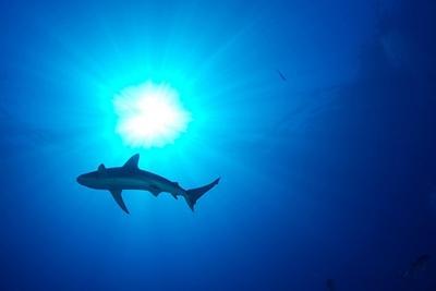 Shark swimming in the ocean