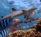 Funn på en undersøkelse om haier utført av frivillige på haibevaringsprosjektet på Fiji