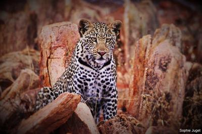 Projects Abroad frivillige fikk øye på en leopard på savannebevaring i Sør-Afrika