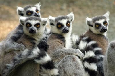 En gjeng lemurer på Madagaskar