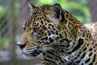 Gepard observert av frivillige på natur- og miljøprosjektet i Amazonas regnskog i Peru