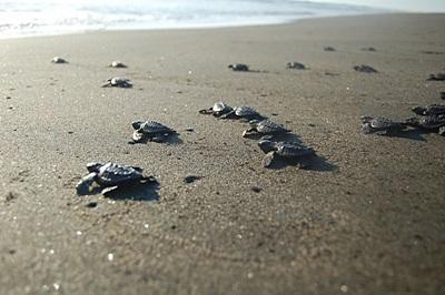 Skilpadder på stranden på natur- og miljøprosjektet i Mexico