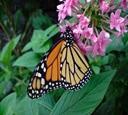 Natur- og miljøprosjekt i Costa Rica liste over sommerfugler