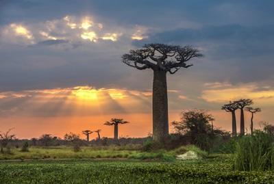 Baobabtrær på Madagaskar