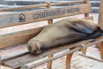 En sjøløve slapper av på en av benkene på øya San Cristobal