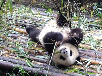 Panda på et dyrereservat hvor ungdomsfrivillige jobber i skoleferier
