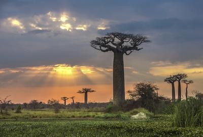 Baobab trær på Madagaskar