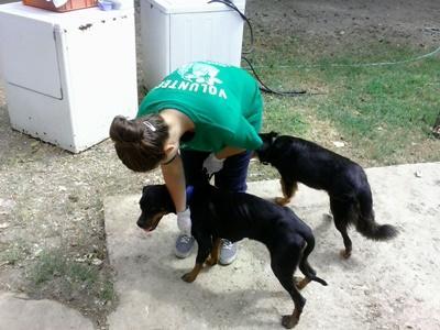 Frivillig behandler svake hunder på et dyresenter på Jamaica