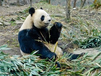 Frivillige som jobber med beskyttelse av ville pandaer i Kina med Projects Abroad