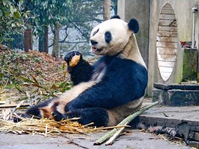 Arbeid med pandaer på et Dyrestellprosjekt i Kina med Projects Abroad