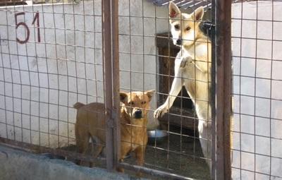 Frivillig tar hånd om syke hunder på dyrestellprosjektet i Romania