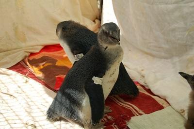 Frivillig tar hånd om pingviner på dyrestellprosjektet i Sør-Afrika