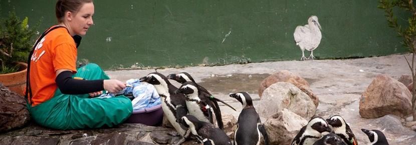 Frivillig behandler pingviner på et senter for dyr i utlandet