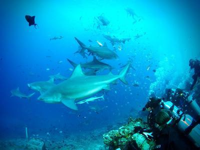 Frivillige dykker sammen med haier utenfor Fiji