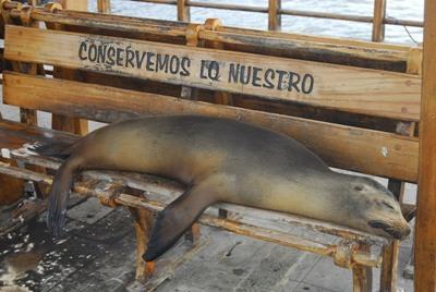 En sel på et natur- og miljøprosjekt på Galápagosøyene, Ecuador