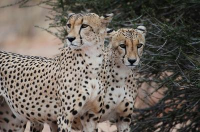 To geparder i naturreservatet i Botswana