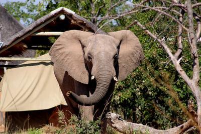 En elefant ved campen til de frivillige i Botswana