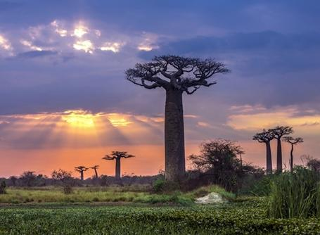 Baobabtrærpå Madagaskar