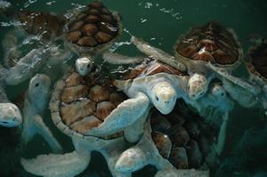 Skilpadder under vann som observeres av frivillige på natur- og miljøprosjektet i Mexico med Projects Abroad