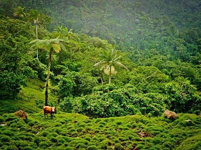 Utsikt over landskap fylt med kuer og trær på Samoa