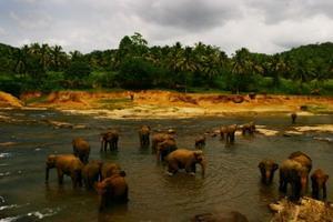 Elefanter i et vann på Sri Lanka