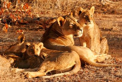 Løveflokk ligger i solen på frivillig arbeid med dyr